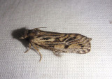 0373 - Acrolophus popeanella; Clemens' Grass Tubeworm Moth