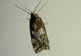3760.2 - Aethes sexdentata; Tortricid Moth species