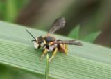 Anthidium oblongatum; Leafcutter Bee species; exotic
