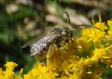 Eumelissodes Long-horned Bee species