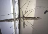 Yamatotipula Large Crane Fly species