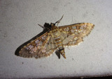 5150 - Samea ecclesialis; Assembly Moth
