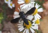 Trichopoda Feather-legged Fly species