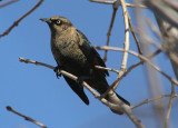 Rusty Blackbird; basic male