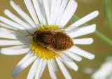 Sparnopolius confusus; Bee Fly species