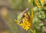 Agapostemon melliventris; Sweat Bee species; male