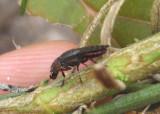 Notogramma purpuratum; Picture-winged Fly species