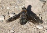 Poecilanthrax californicus; Bee Fly species
