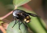 Belvosia Tachinid Fly species