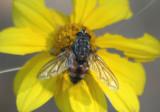 Dexiinae Tachinid Fly species