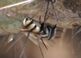 Copestylum Syrphid Fly species