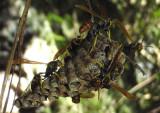 Mischocyttarus phthisicus; Paper Wasp species
