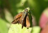 Wallengrenia drury; Antillean Broken-Dash; female