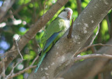 Monk Parakeet; exotic
