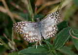 Pyrgus oileus; Tropical Checkered-Skipper; male