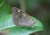 Eunica monima; Dingy Purplewing
