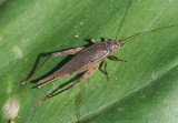Tree Cricket species