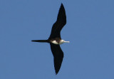 Magnificent Frigatebird; immature