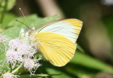 Ascia monuste virginia; Great Southern White; male