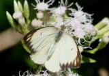 Ascia monuste virginia; Great Southern White; female