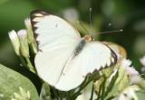Ascia monuste virginia; Great Southern White; male