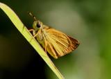 Choranthus vitellius; V-mark Skipper