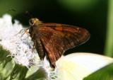 Epargyreus zestos; Zestos Skipper