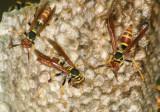 Mischocyttarus Paper Wasp species