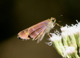 Panoquina lucas; Purple-washed Skipper