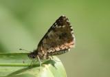 Pyrgus oileus; Tropical Checkered-Skipper