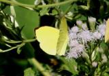 Pyrisitia leuce antillarum; Leuce Yellow; male