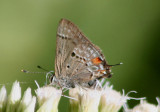 Strymon columella; Columella Scrub-Hairstreak