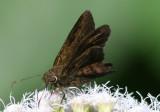 Urbanus obscurus; Dark Longtail