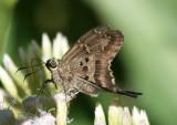 Urbanus proteus; Long-tailed Skipper