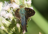 Urbanus proteus; Long-tailed Skipper