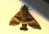 Perigonia lusca; Half-blind Sphinx