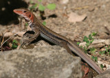 St. Christopher Ameiva Lizard