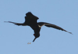 Magnificent Frigatebird; male