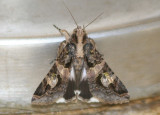 Melipotis famelica; Noctuid Moth species