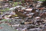 Forest Thrush