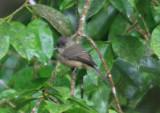 Lesser Antillean Pewee