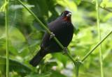 Lesser Antillean Bullfinch; male