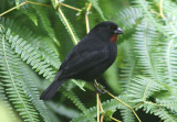 Lesser Antillean Bullfinch; male