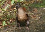 Brown Trembler