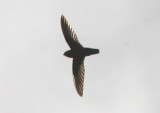Lesser Antillean Swift