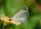 Eurema elathea elathea; Banded Yellow