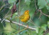 Yellow Warbler; Lesser Antilles race; male
