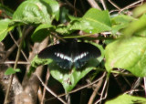 Battus polydamas neodamas; Polydamus Swallowtail
