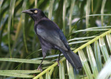 Carib Grackle; male