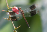Erythrodiplax umbrata; Band-winged Dragonlet; immature male